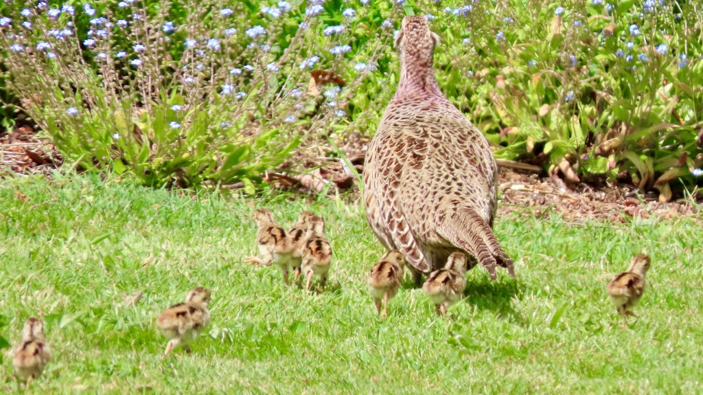 female pheasant and her brood