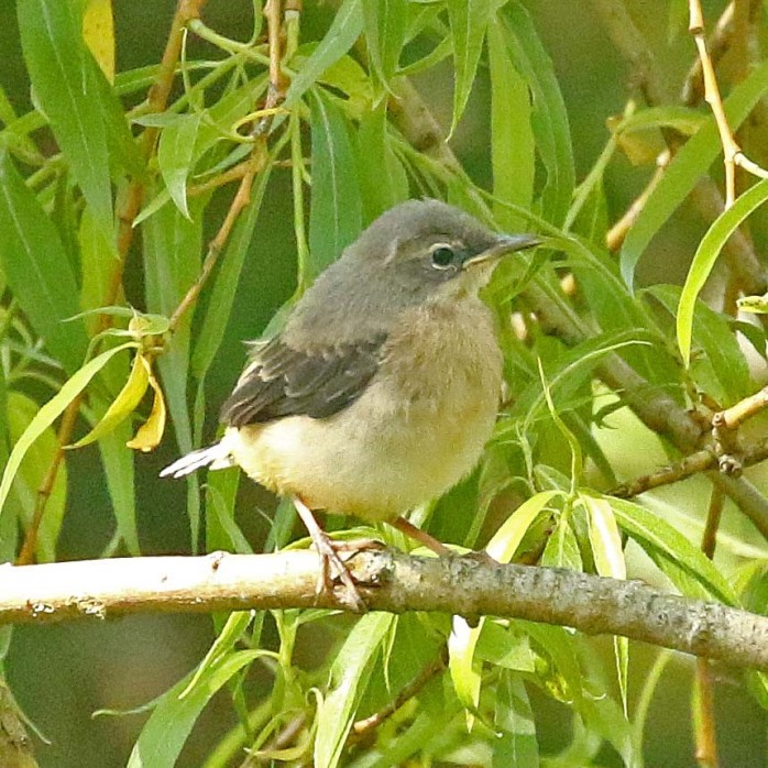 Grey Wagtail juvenile