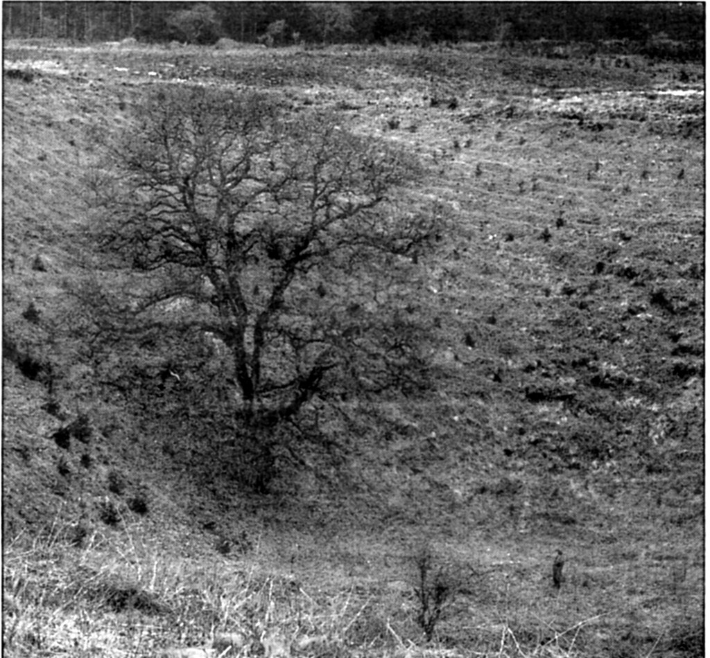 The photograph shows Culpepper's Dish as it was just after planting took place – in a wide  open landscape with just one majestic oak in its base. (Photograph by Geoffrey Poole 1968).